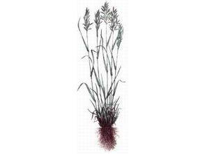 Овсяница луговая - Festuca pratensis