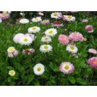 Газонная трава Цветочная с маргаритками